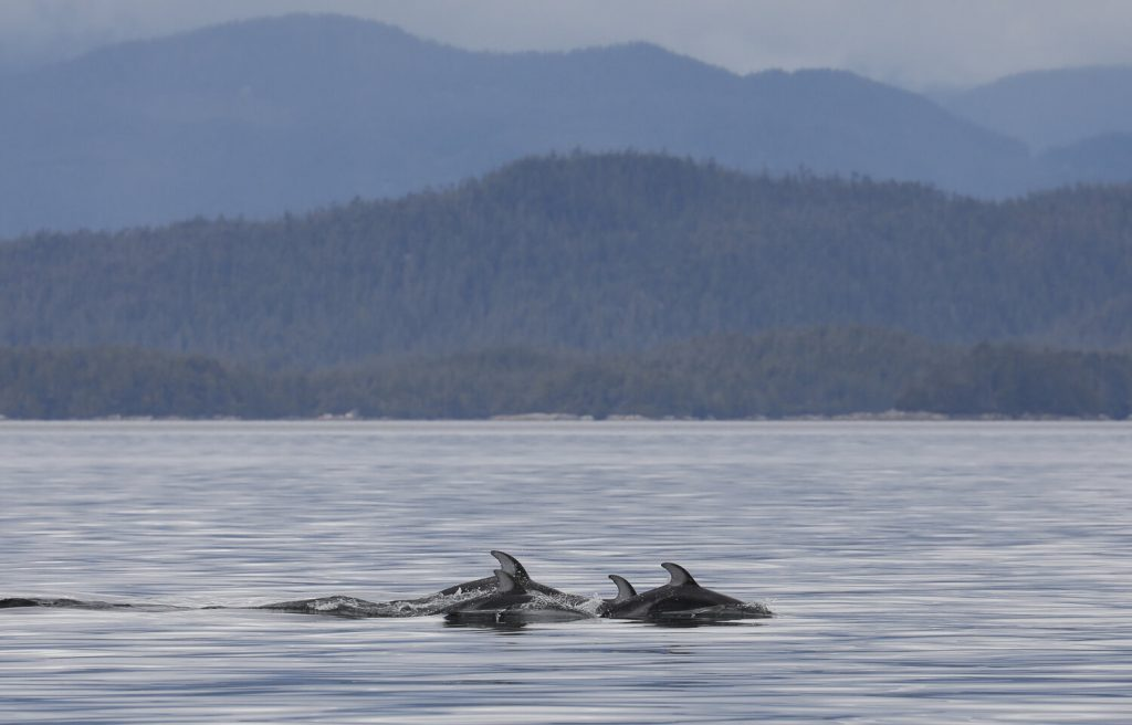 Dolphins swimming through the lake